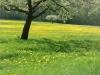 Apfelblüte im Nördlinger Ries